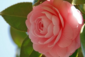 乙女椿 : camellia japonica